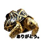 リアルなホシガメ(個別スタンプ:01)