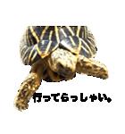 リアルなホシガメ(個別スタンプ:03)