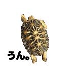 リアルなホシガメ(個別スタンプ:08)