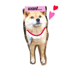 かわいい柴犬のベルちゃん