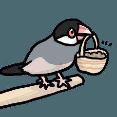 桜文鳥チャッピー第4弾