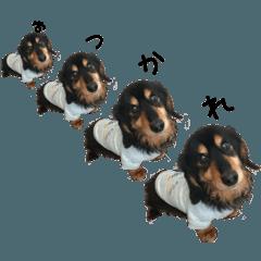 愛犬ミニチュアダックスとその仲間たち