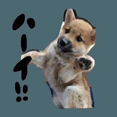 ♡柴犬 りずちゃん スタンプ vol.2♡