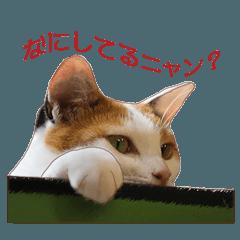 保護ねこ写真スタンプ:三毛猫編